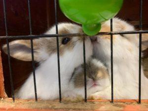 ארנבון שמוט אוזניים ארנביה בישראל
