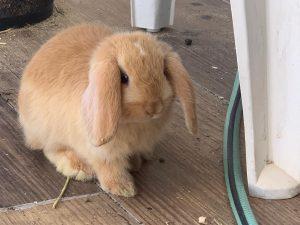 מינילופ ארנב שמוט אוזניים ננסי