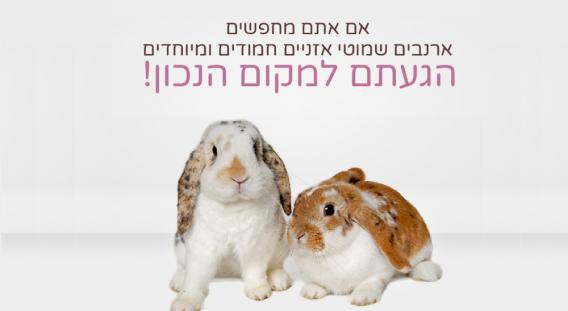 ארנב שמוט אוזניים ננסי למכירה עכשיו גם בישראל