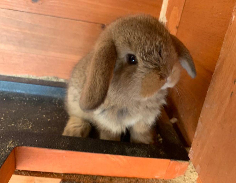 ארנבון שמוט אוזניים למכירה ארנביה בישראל