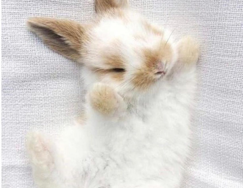 ארנב שמוט אוזניים ננסי