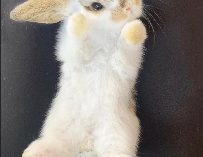 מינילופ ארנב ננסי שמוט אוזניים