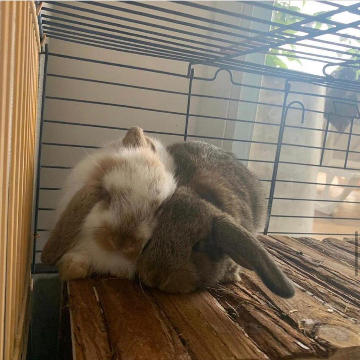 ארנבונים שמוטי אוזניים למכירה