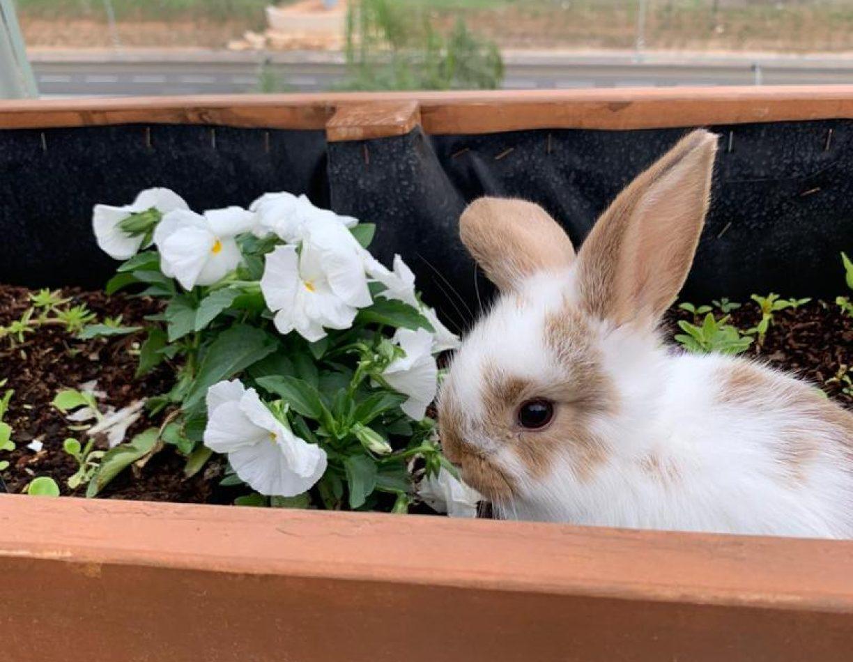 השמוטיה ארנביה לארנבים שמוטי אוזניים