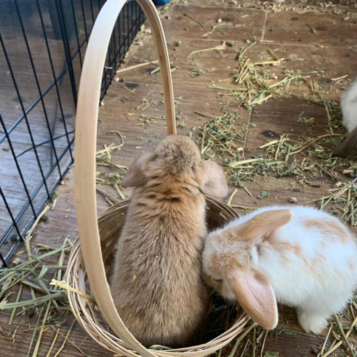 ארנבים שמוטי אוזניים
