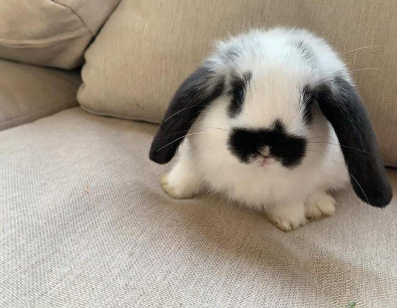 ארנב ננסי שמוט אוזניים