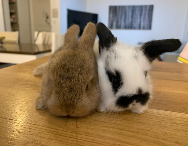 ארנבים הולנדיים שמוטי אוזניים בישראל