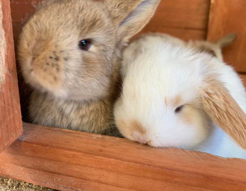 ארנבים ננסיים שמוטי אוזניים
