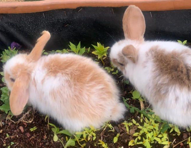 ארנב שמוט אוזניים הולנדילא רק בהולנד עכשיו גם בישראל!