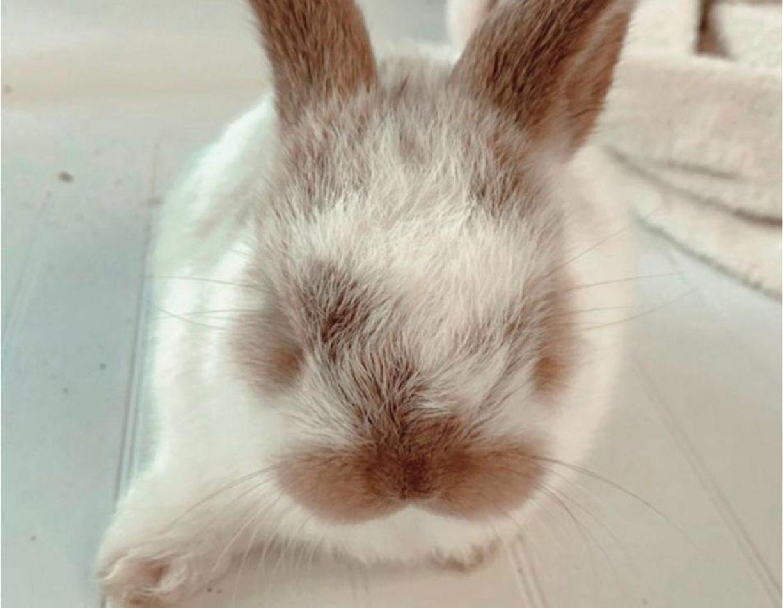 ארנבון שמוט אוזניים