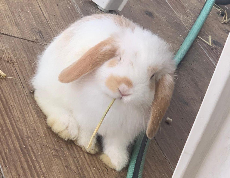 ארנב שמוט אוזניים למכירה בישראל