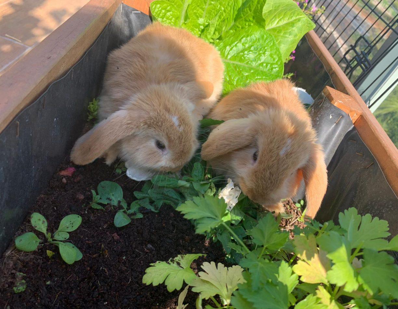 ארנבונים שמוטי אוזניים
